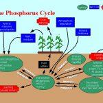 Dia Phosphorkreislauf